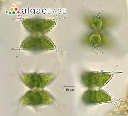 Sellaphora pupula var. rectangularis (W.Gregory) Mereschkowsky