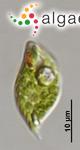 Phacus inflexus (Kisselev) Pochmann
