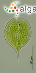 Phacus longicauda subsp. cordatus Pochmann