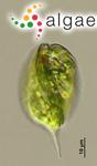 Phacus arnoldii Svirenko