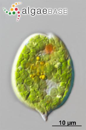 Pinnularia lata var. latestriata (W.Gregory) Cleve