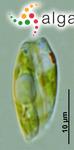 Phacus polytrophos Pochmann