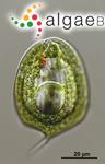 Phacus paraorbicularis J.I.Kim & W.Shin