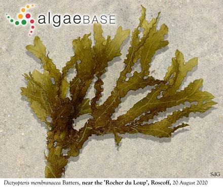 Pinnularia viridis var. intermedia Cleve