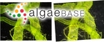 Enteromorpha flexuosa (Wulfen) J.Agardh