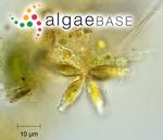 Synedra parasitica var. subconstricta (Grunow) Hustedt