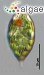 Lepocinclis steinii (Lemmermann) Lemmermann