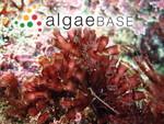 Yonagunia palmata S.-M.Lin, Y.-C.Chuang & De Clerck
