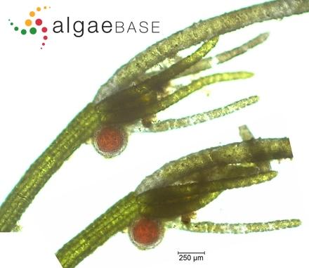 Navicula bahusiensis var. arctica Grunow