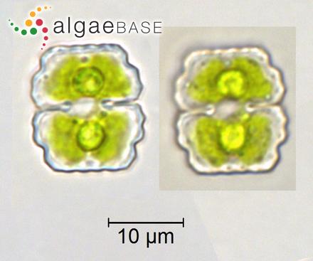 Navicula diluviana Krasske
