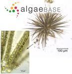 Calothrix parietina Thuret ex Bornet & Flahault