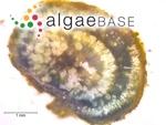 Rivularia biasolettiana Meneghini ex Bornet & Flahault