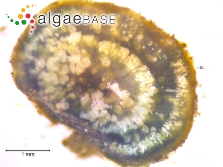 Navicula ilopangoensis Hustedt