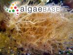 Helminthora australis J.Agardh ex Levring