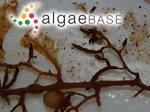 Sargassum trichocarpum J.Agardh