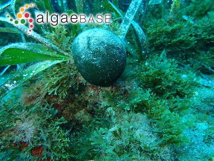 Staurosirella pinnata (Ehrenberg) D.M.Williams & Round