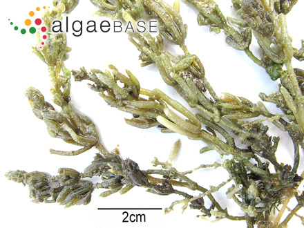 Gomphonema olivaceum var. balticum (Cleve) Cleve