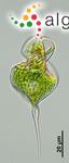Phacus tortus (Lemmermann) Skvortsov