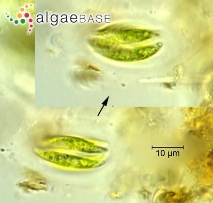 Placoneis elginensis var. rostrata (A.Meyer) E.Y.Haworth & M.G.Kelly