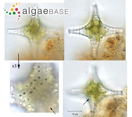 Psammothidium kuelbsii (Lange-Bertalot) Bukhtiyarova & Round
