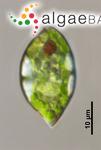 Lepocinclis sphagnophila Lemmermann