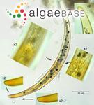 Closterium nematodes var. proboscideum W.B.Turner