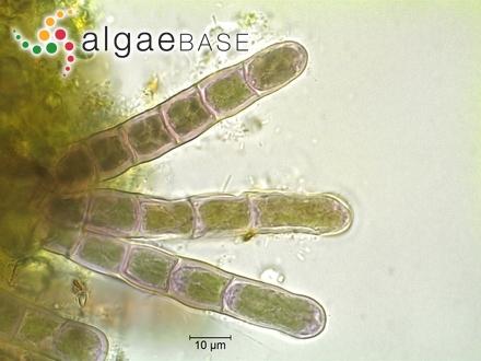 Pinnularia cuneola E.Reichardt