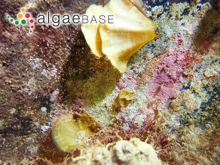 Pinnularia distinguenda (Cleve) Cleve