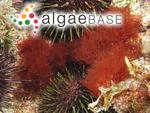 Platysiphonia delicata (Clemente) Cremades