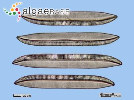 Crouania gracilis J.Agardh