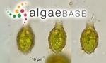 Trachelomonas acuminata (Schmarda) Stein